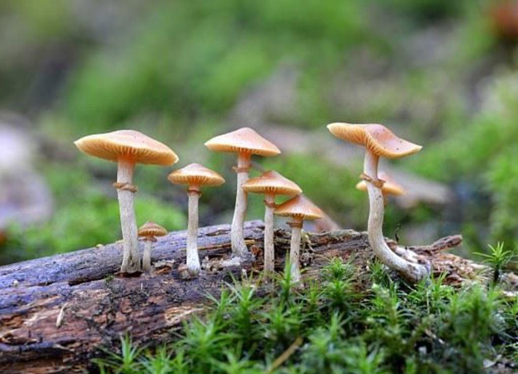 """Los científicos ahora pueden """"cosechar"""" la sustancia activa de los hongos mágicos gracias a bacterias"""