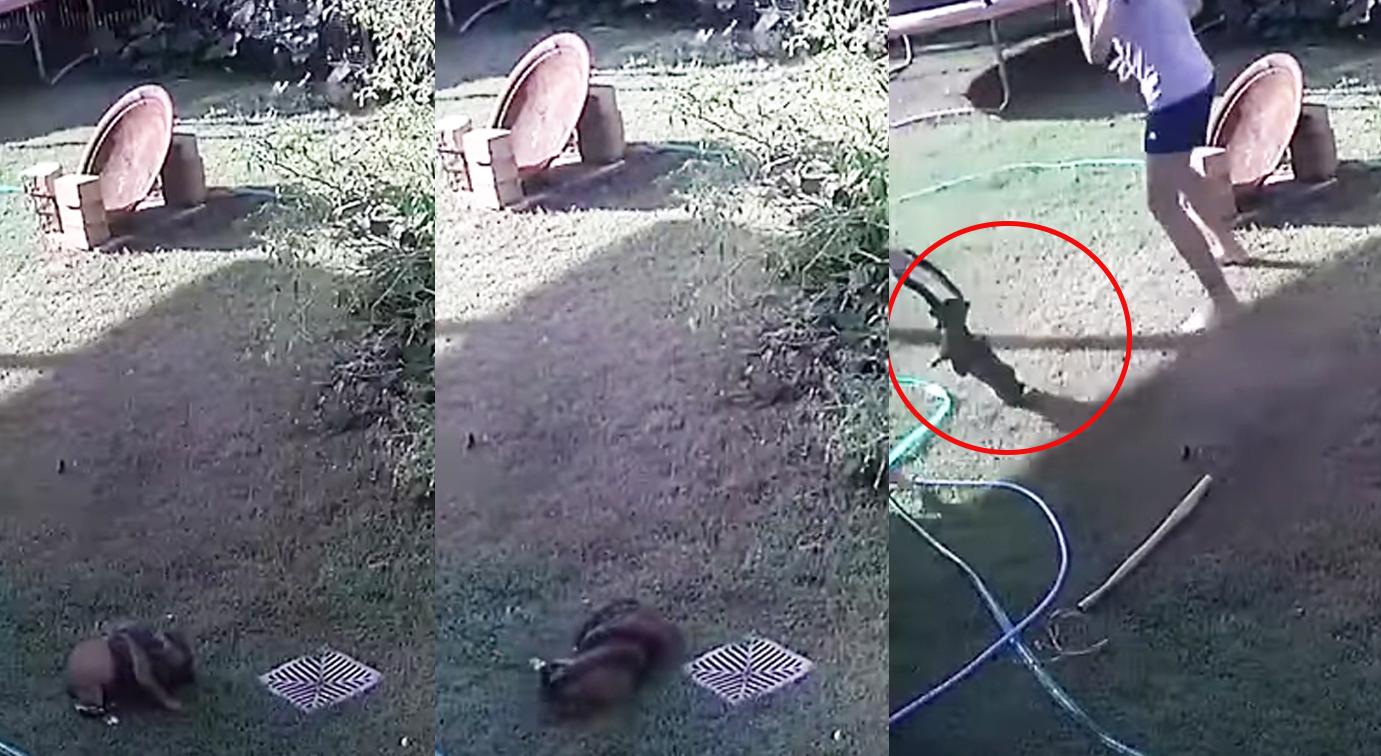 VIDEO: Así fue como una mujer salvó a su cachorro del sorpresivo ataque de una pitón en Australia