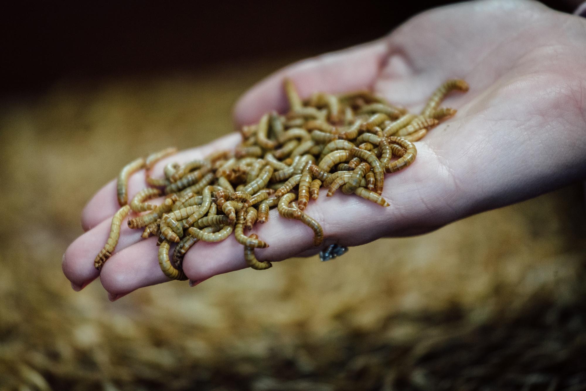 La larva del escarabajo de la harina es declarada segura para el consumo humano