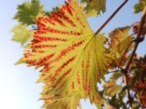 Red Veined Grape Vine Leaf