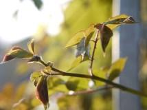 Rose Leaves in Profile 2