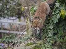 Fox on the Wall