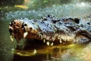 Mundos cocodrilo más grande en cautividad
