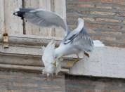 seagull dove angelus