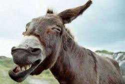 conqueror donkey
