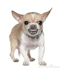 wütend Chihuahua
