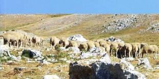 anatolia Sheep