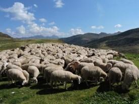 moutons anatolia 2