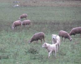Anatolia de moutons
