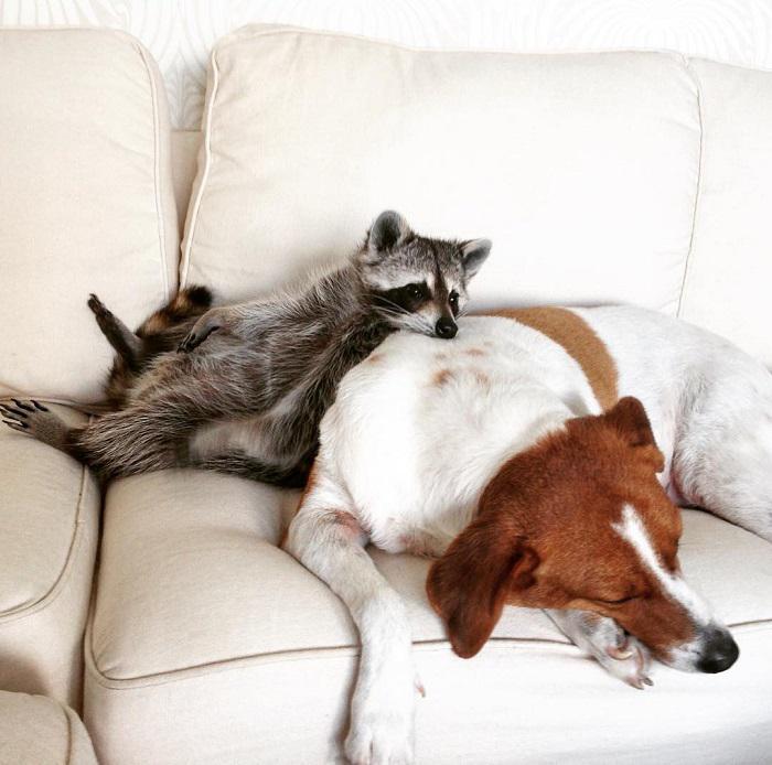 enot-kotoryj-tverdo-ubezhden-chto-on-sobaka-milejshee-zrelishhe_015   Этот енотик думает, что он родился собакой - посмотрите, как он себя ведет!