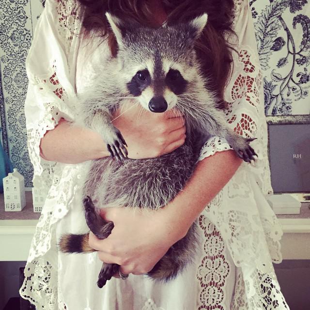 enot-kotoryj-tverdo-ubezhden-chto-on-sobaka-milejshee-zrelishhe_027   Этот енотик думает, что он родился собакой - посмотрите, как он себя ведет!