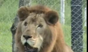 Лев, проживший 13 лет в цирке впервые увидел траву... Тронуло до слез!