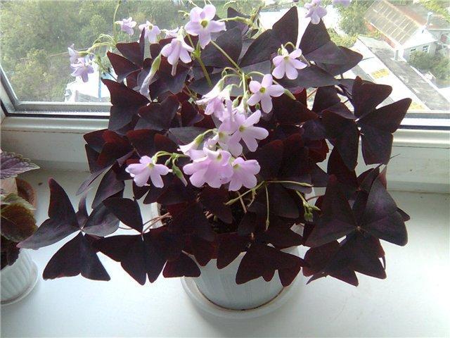 image2-31 | Известный экстрасенс поведала какие цветы приносят удачу и счастье в дом!