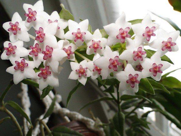 image7-17 | Известный экстрасенс поведала какие цветы приносят удачу и счастье в дом!