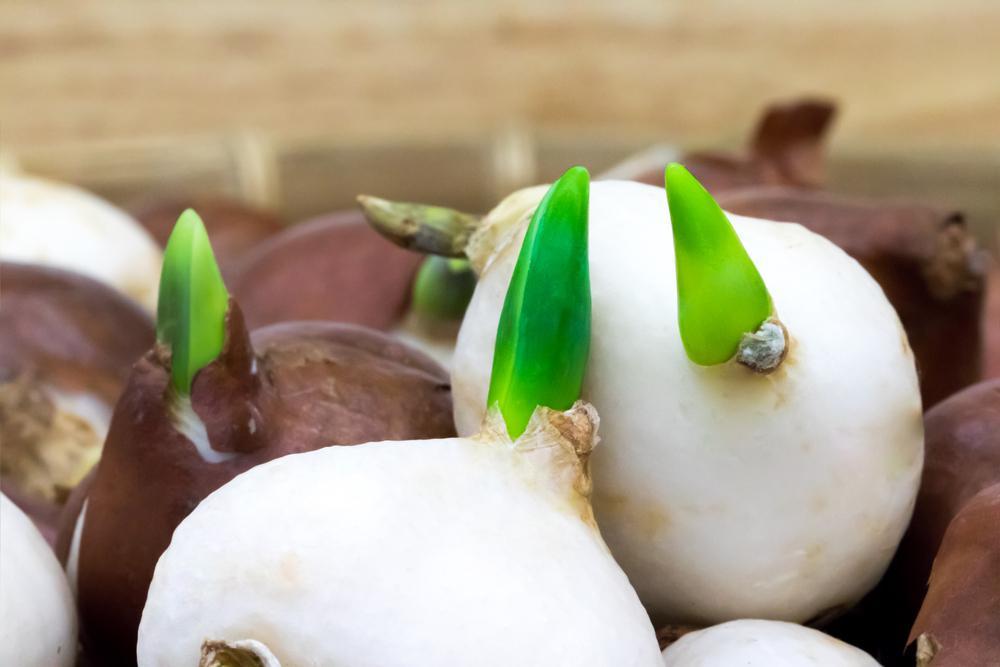 image2-50 | Как вырастить тюльпаны на подоконнике без грунта
