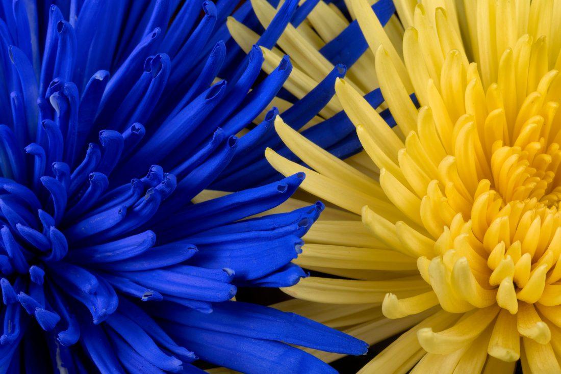 blue yellow flowers free