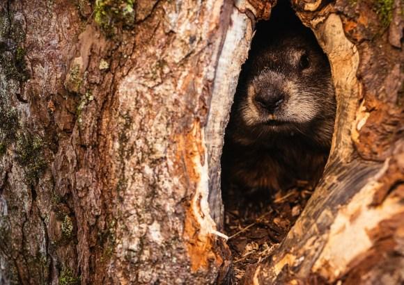 Hiding Groundhog