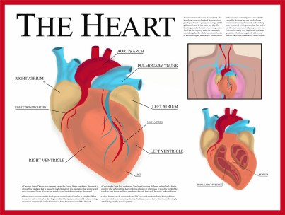 A diagram of the heart's chambers.