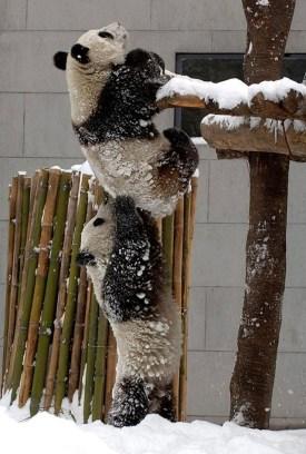 panda helping