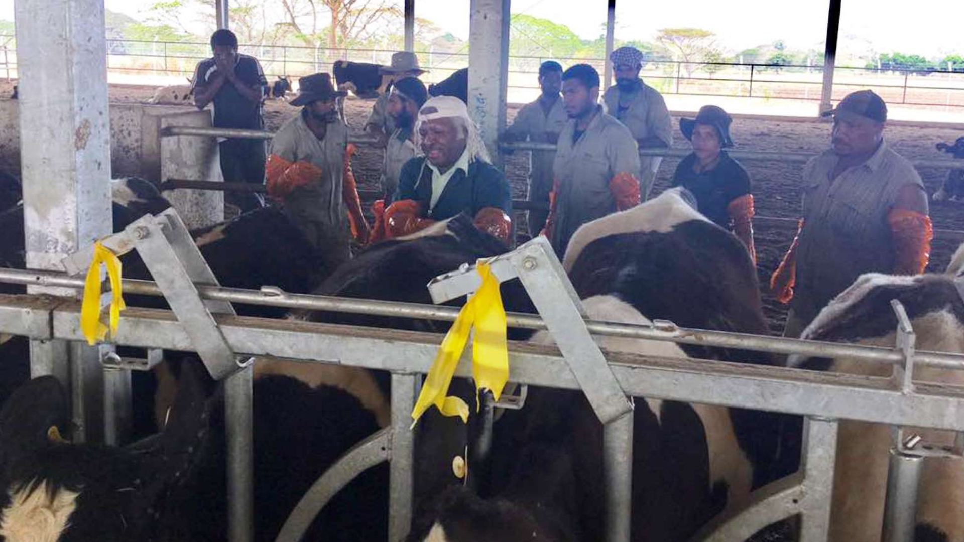 Kiwi cows in an Israeli designed shed in Papua