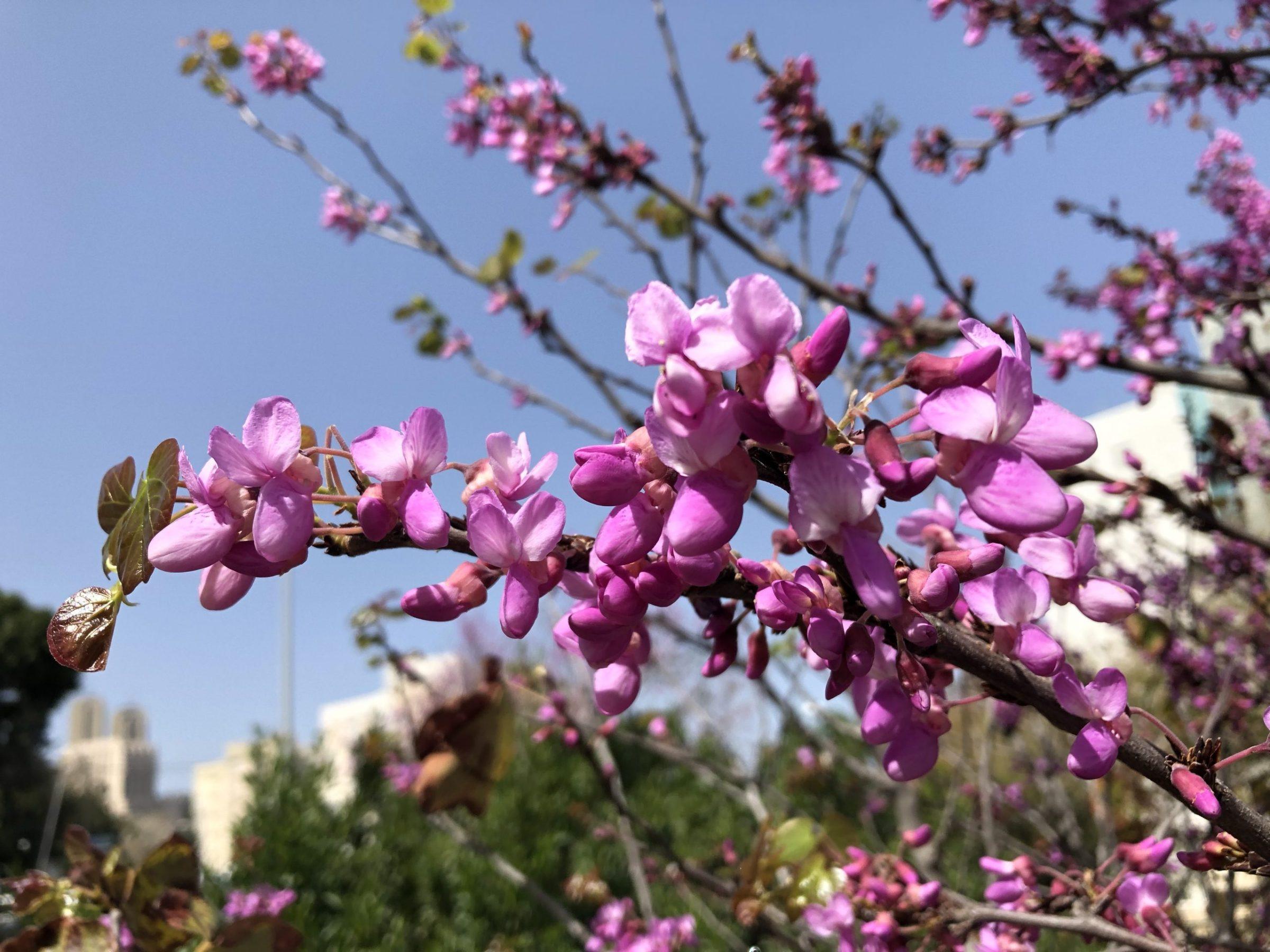 Israel blossoms