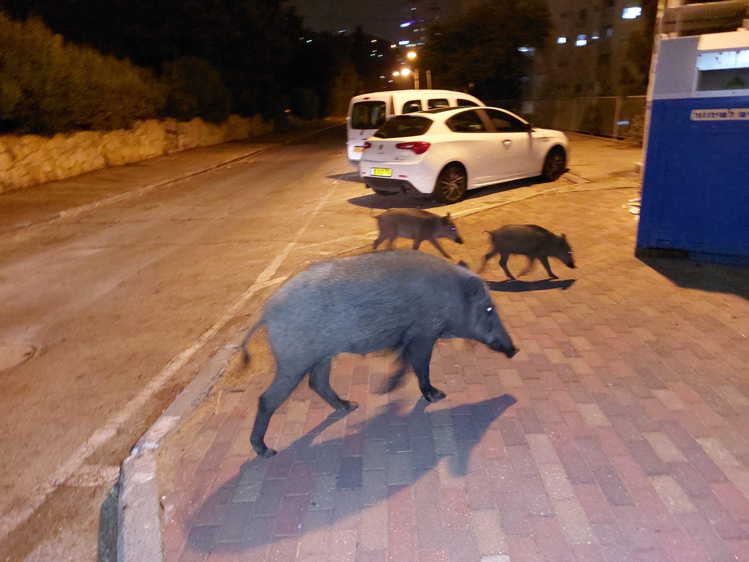Wild boars own the night in Haifa