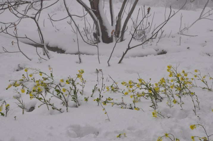Mustard in the snow