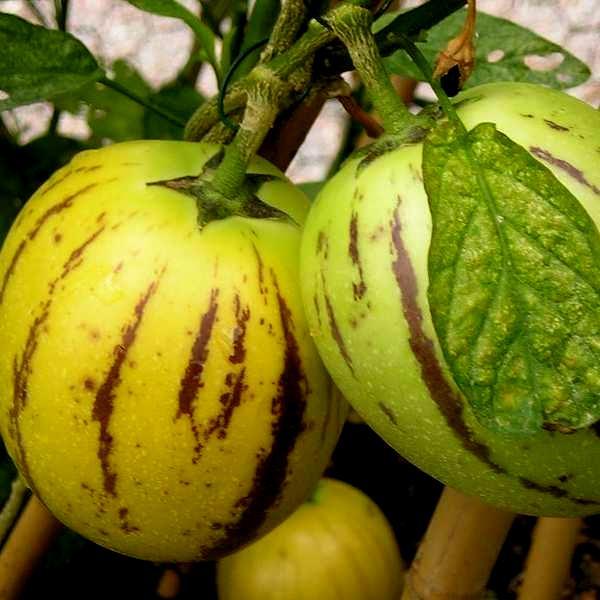 Pepino_Solanum Muricatum_SAM_9112
