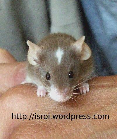 tikuskepalaputih03