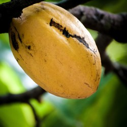 The revival of Brazil's cacao sector: is anything really changing?  by Lee Pegler and Luiza Teixeira