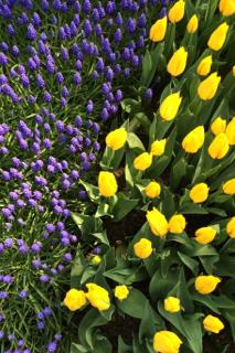 Farbenspiel mit Tulpen und Traubenhyazinthen