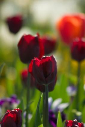 deep purple tulips