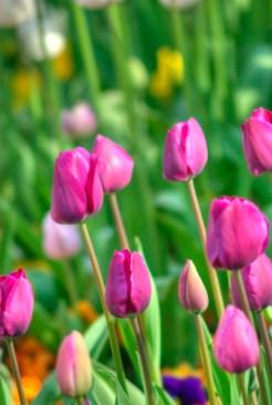 istanbul_tulip_festival_2011_03_26-2