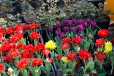 istanbul_tulip_festival_lale_2011_03_27-6