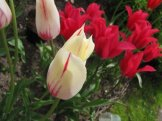istanbul_tulip_festival_eleka_rugam_rebane-11