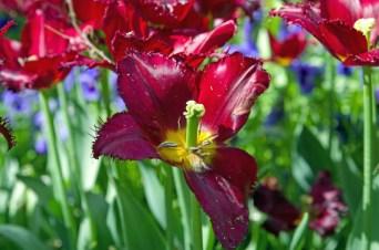 istanbul_tulip_lale_festival_ozgurozkok (13)