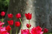 istanbul_tulip_lale_festival_ozgurozkok (78)