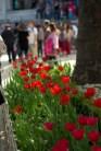 istanbul_tulip_lale_festival_ozgurozkok (83)