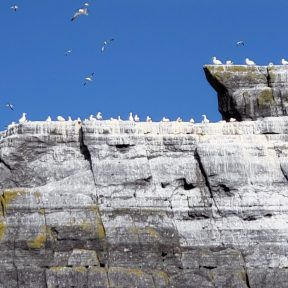 Gannet colony of Little Skellig