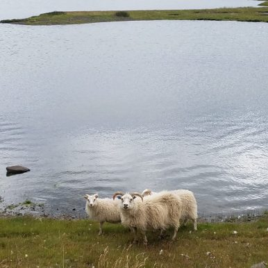 Indignant Iceland sheep
