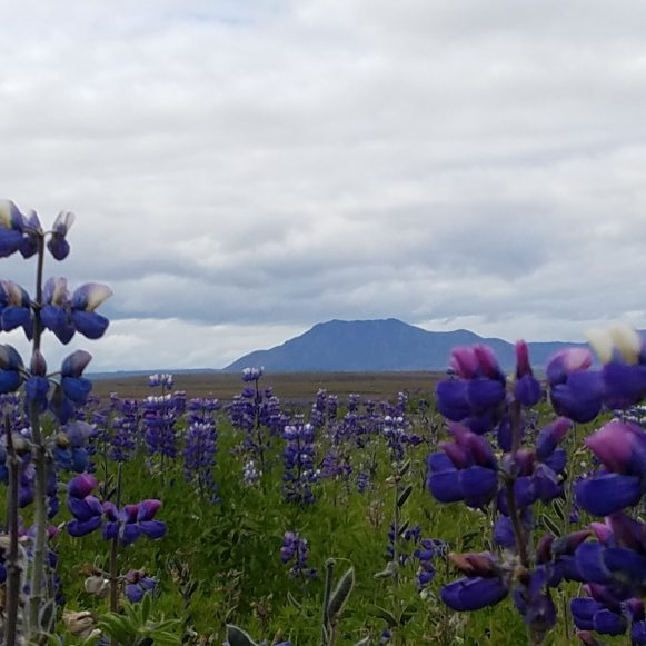 Lupine Field Iceland