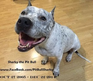 sharky the pit bull