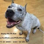 Sharky the Pit Bull, Friend of Chicks and Bunnies, Crosses Rainbow Bridge