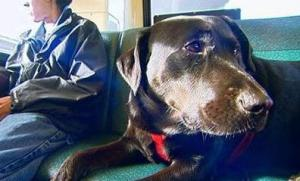 dog rides seattle bus alone