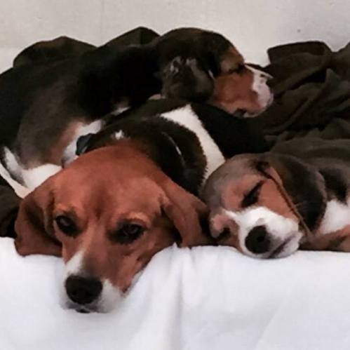 beagles rescued from hoarder