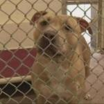 Hero Pit Bull Quarantined after Saving Girl from Rabid Raccoon