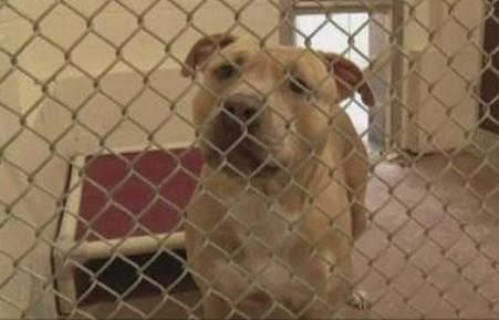 pit bull quarantined after saving girl fromraccoon