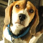 Proposed Nevada Law Would Mean Happier Endings for Laboratory Dogs