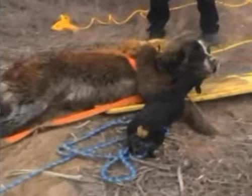 dachshund kisses rescued saint bernard