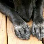 Dogs and Other Animals with Black Fur Live Longer, New Study Says